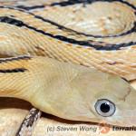 Bogertophis subocularis – wąż wielkooki