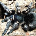 Aphonopelma seemanni 'blue' – ptasznik zebrowaty