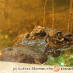 Niedobory tiaminy u krokodyli; prawdopodobny przypadek kliniczny