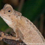 Brookesia stumpffi