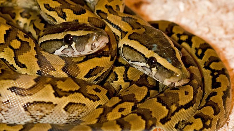 Python sebae – pyton skalny