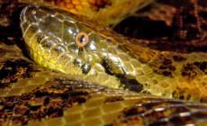 Eunectes notaeus – anakonda żółta