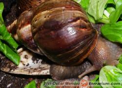 Achatina – ślimaki olbrzymie
