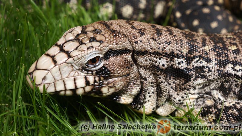 Tupinambis merianae – teju argentyński czarno-biały*
