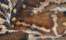 Python anchietae – pyton angolski