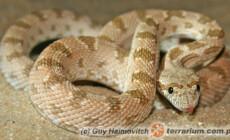 Spalerosophis diadema – wąż diademowy