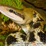 Orthriophis taeniurus – wąż chiński