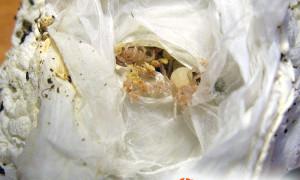 Cyclosternum fasciatum – raport rozmnożeniowy