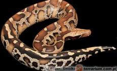 Python curtus – pyton krótkoogonowy