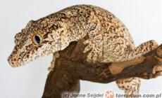 Rhacodactylus auriculatus – gekon uszasty, gekon gargulcowy