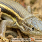 Psammodromus hispanicus – piaskarka hiszpańska