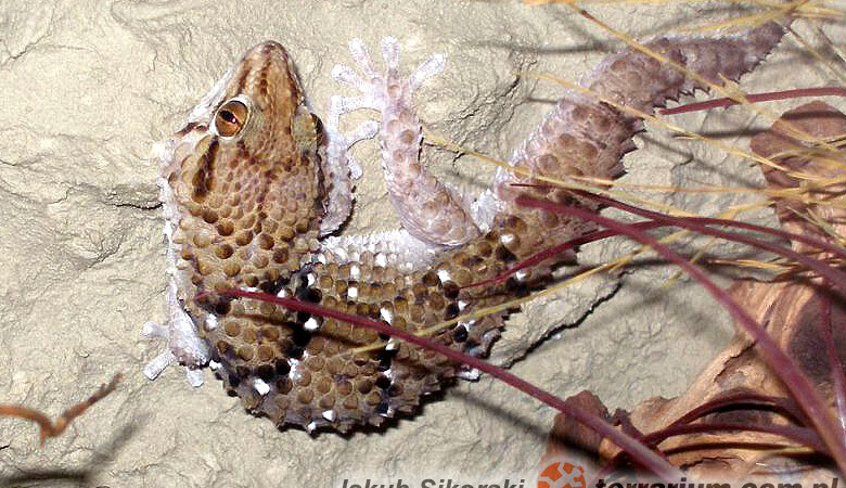 Chondrodactylus turneri – gekon leśny