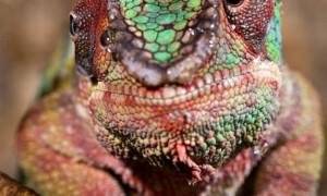 Chamaeleonidae – kameleonowate, kameleony