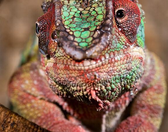 Furcifer pardalis – kameleon lamparci