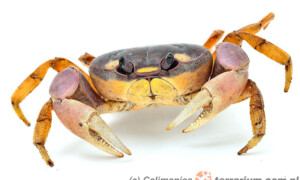 Cardisoma armatum – krab tęczowy