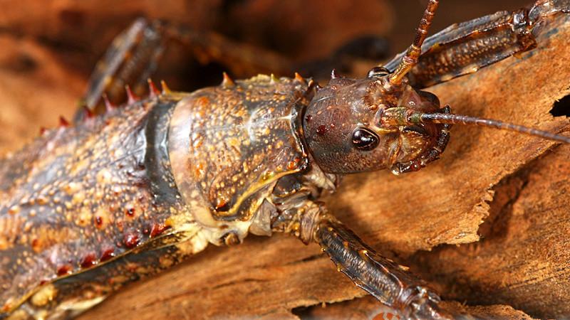 Eurycantha calcarata – straszyk nowogwinejski