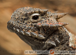 Phrynosomatidae – frynosomowate, frynosomy