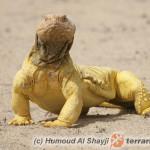 Uromastyx aegyptia – biczogon egipski