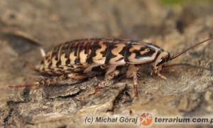 Neostylopyga rhombifolia – karaczan arlekin