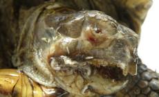 Muszyca żółwia – przypadek skrajnego zaniedbania żółwia stepowego (Testudo horsfieldii)