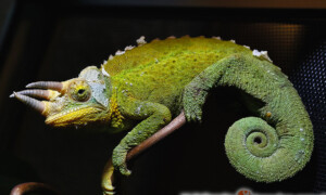 Kameleon Jacksona – pytania