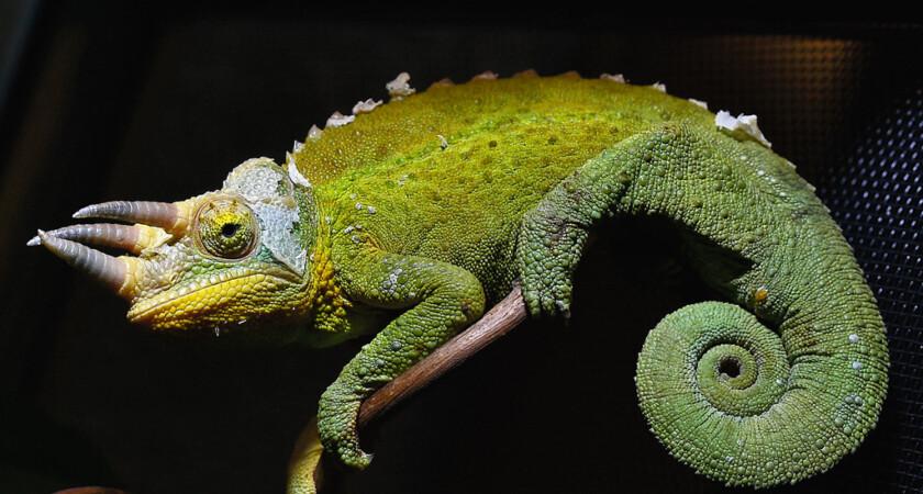 Trioceros jacksonii xantholophus - kameleon Jacksona