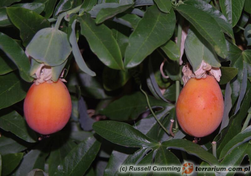 Passiflora caerulea - męczennica błękitna