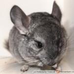 Chinchilla lanigera – szynszyla