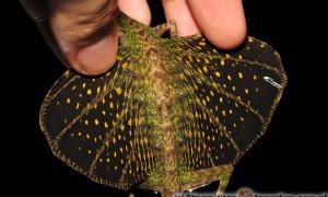 Smoki latające z Borneo posiadają fałdy skórne umożliwiające lot ślizgowy