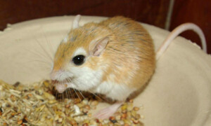 Gerbillus campestris – myszoskocz okazały
