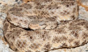 Crotalus mitchellii – grzechotnik cętkowany