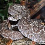 Crotalus vegrandis – grzechotnik wenezuelski