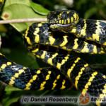 Boiga dendrophila – wąż mangrowy