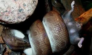 Żywienie węży