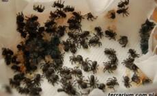 Caribena versicolor – raport rozmnożeniowy
