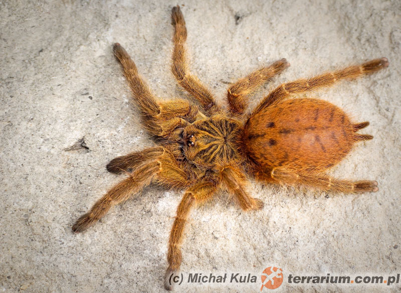 "Odmiana ""Usambara"" - Pterinochilus murinus - ptasznik słoneczny"