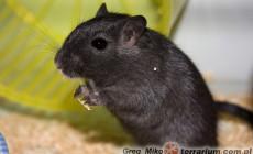 Meriones unguiculatus – myszoskoczek mongolski – odmiany barwne