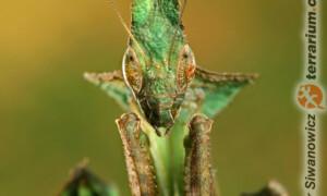 Phyllocrania paradoxa – modliszka liściogłowa