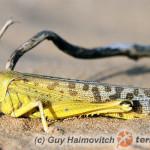 Schistocerca gregaria – szarańcza pustynna
