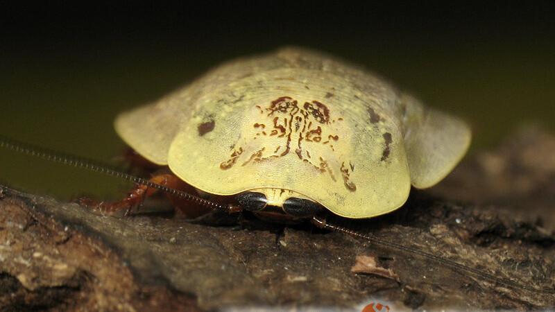 Blattodea – karaczany