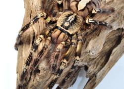 Poecilotheria ornata – ptasznik zdobiony