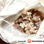 Thrixopelma ockerti – raport rozmnożeniowy 2