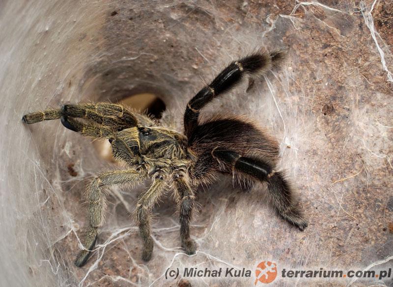 Samica - Eucratoscelus pachypus - ptasznik