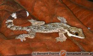 Gekon fałdoskóry potrafi szybować