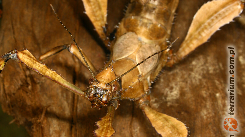 Extatosoma tiaratum – straszyk australijski