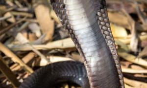Naja siamensis – kobra syjamska