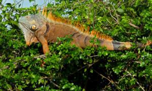 Floryda chce zakazać hodowli legwanów zielonych i teju (Salvator i Tupinambis)