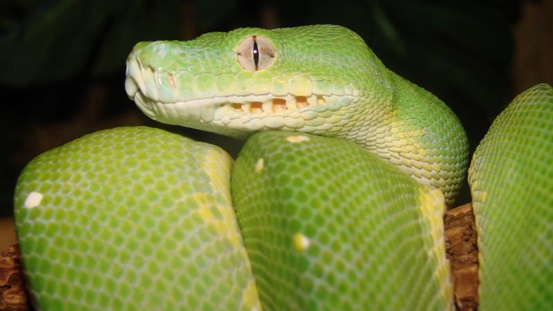 Morelia viridis – pyton zielony