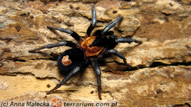 Cyriocosums spp.