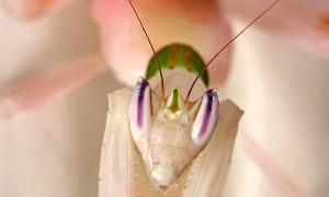 Hymenopus coronatus – modliszka storczykowa*